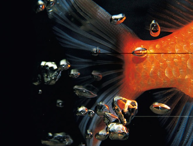 pez-dorado-principal